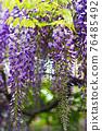 wisteria, bloom, blossom 76485492
