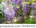 wisteria, bloom, blossom 76485493