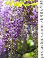 wisteria, bloom, blossom 76485494