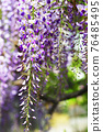 wisteria, bloom, blossom 76485495