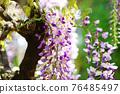 wisteria, bloom, blossom 76485497