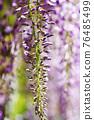 wisteria, bloom, blossom 76485499