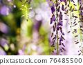 wisteria, bloom, blossom 76485500