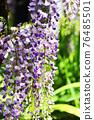 wisteria, bloom, blossom 76485501
