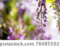 wisteria, bloom, blossom 76485502