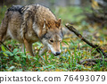 Close up wolf in autumn forest background 76493079