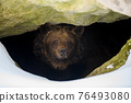 Brown bear looks out of its den in the woods under a large rock in winter 76493080