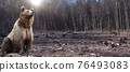 Large male bear stands in the middle of a felled forest 76493083