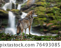 Timber wolf hunting in mountain on waterfall background 76493085