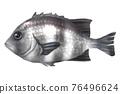鸚鵡魚 76496624