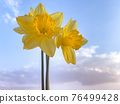 Spring Daffodil flowers 76499428