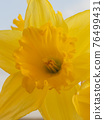 Spring Daffodil flowers 76499431