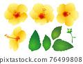 hibiscus, flower, flowers 76499808