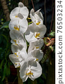 White Moth Orchid Flowers 76503234