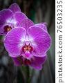 Phalaenopsis Orchid Purple Flower 76503235