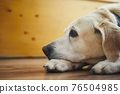 Portrait of old dog at home 76504985