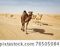 Herd of camels walking on country road against sand dunes in desert 76505084