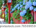 hydrangea, gaku hydrangea, bloom 76509059