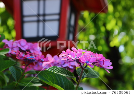 hydrangea, gaku hydrangea, bloom 76509063