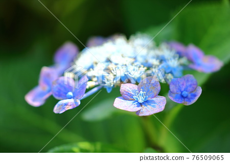hydrangea, gaku hydrangea, bloom 76509065