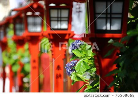 hydrangea, gaku hydrangea, bloom 76509068