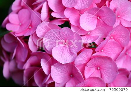 hydrangea, bloom, blossom 76509070