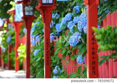 hydrangea, gaku hydrangea, bloom 76509072
