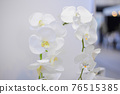 white blooming orchid with lots of flowers 76515385