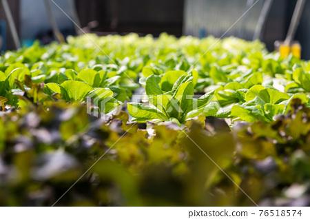 Organic hydroponic vegetable farm 76518574