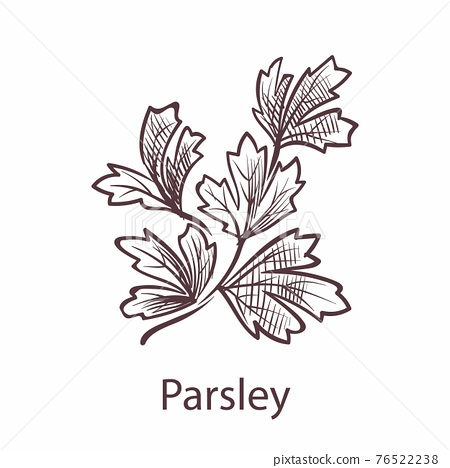 Parsley leaves and plant. Engraving isolated herbs and spices, hand drawn leaf in retro style, detailed organic product sketch, cooking symbol with text, vector object on white background 76522238
