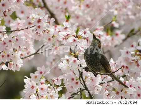 Cherry tree and brown eyedryhead 76527094
