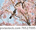 cherry blossom, cherry tree, bloom 76527095