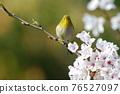 cherry blossom, cherry tree, small bird 76527097