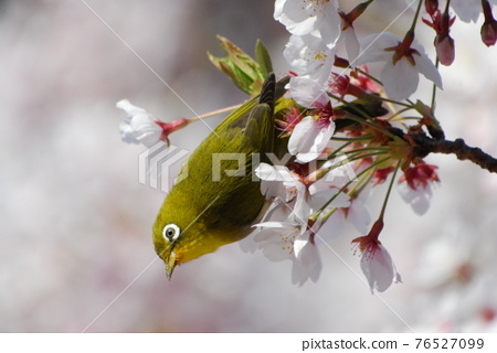 cherry blossom, cherry tree, small bird 76527099