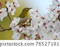 cherry blossom, cherry tree, small bird 76527101