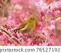 cherry blossom, cherry tree, small bird 76527102