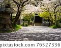 cherry blossom, cherry tree, shrine 76527336