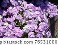 芝櫻 櫻花 花朵 76531000