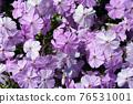 芝櫻 櫻花 花朵 76531001
