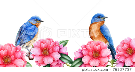 Eastern bluebirds with camelia flowers illustration. Spring watercolor image. Tender pink blossoms with tiny songbirds. Elegant spring lush border. Camelia flowers and birds on white background 76537757