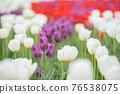 紫色鬱金香 76538075