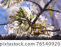tiger, tigers, cherry blossom 76540920