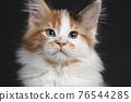 Maine Coon cat kitten on black background 76544285