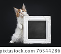 Maine Coon cat kitten on black background 76544286