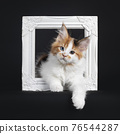 Maine Coon cat kitten on black background 76544287
