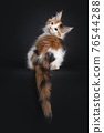 Maine Coon cat kitten on black background 76544288