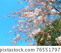被烙記的櫻花和藍天 76551797
