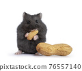 Baby hamster on white background 76557140