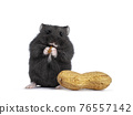 Baby hamster on white background 76557142