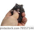 Baby hamster on white background 76557144